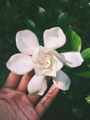 Gardenia, St. Augustine, FL